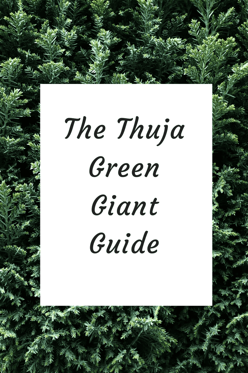 The Thuja Green Giant - What to know before you buy! [2020 guide]