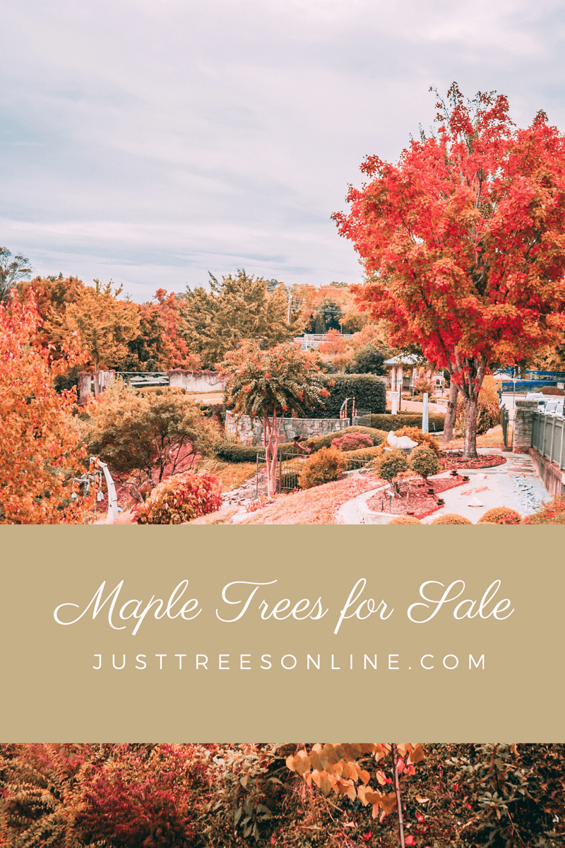The Top Maple Trees For Sale