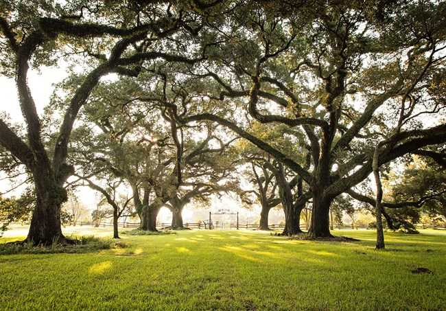 Top Live Oak Trees to Buy for a Beautiful Landscape