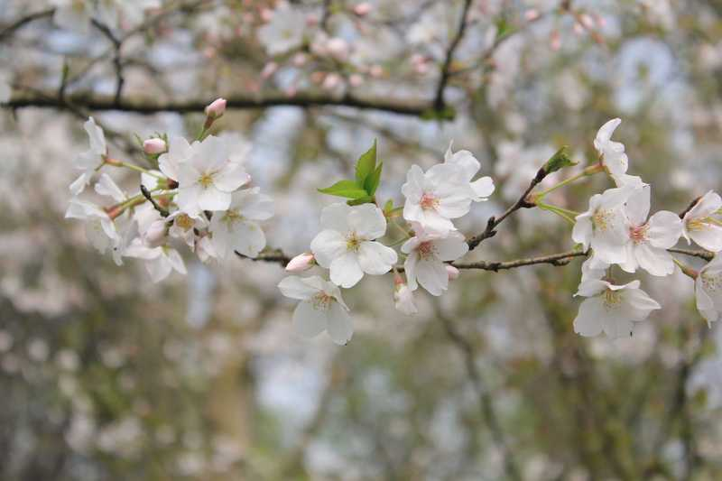 Top Flowering Trees For Sale
